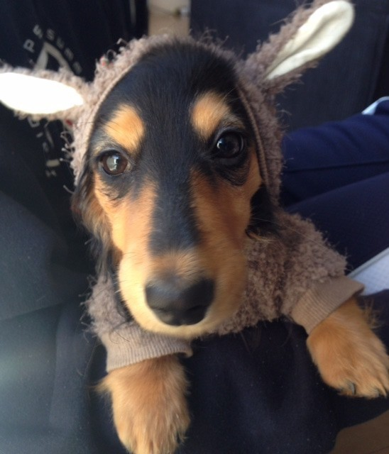 市販の犬服を着ているNico